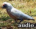 Audio: Corellas