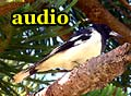 Audio: Magpie