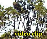 DivX Video: Fruit Bats in Hervey Bay