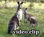 DivX Video: Kangaroos & Emus