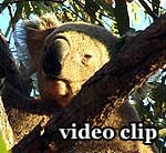 DivX Video: Koalas Magnetic Island